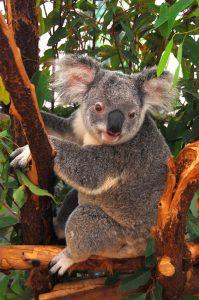 Koala Brisbane Australia